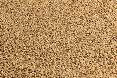 Struttura del grano del grano saraceno Fondo crudo del grano saraceno Immagini Stock