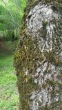 Struttura del muschio Corteccia di albero fotografie stock
