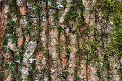 Struttura del muschio della corteccia di albero Fotografia Stock Libera da Diritti