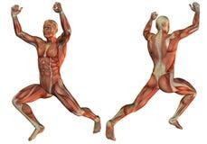 Struttura del muscolo nel sollevamento pesi Immagine Stock Libera da Diritti