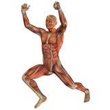 Struttura del muscolo nel sollevamento pesi Fotografia Stock Libera da Diritti