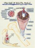 Struttura del muscolo scheletrico umano Fotografia Stock