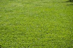 Struttura del pavimento del tappeto erboso dell'erba verde Fotografie Stock