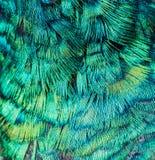 Struttura del pavone Fotografia Stock
