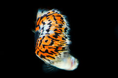 Struttura del pesce del guppy della coda Immagini Stock