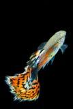 Struttura del pesce del guppy della coda Fotografie Stock