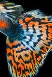 Struttura del pesce del guppy della coda Fotografia Stock Libera da Diritti