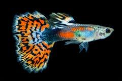 Struttura del pesce del guppy della coda Fotografie Stock Libere da Diritti