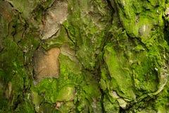 Struttura del pino Fotografia Stock Libera da Diritti