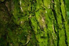 Struttura del pino Fotografia Stock