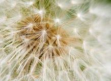 Struttura del seme del dente di leone Fotografie Stock