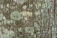 Struttura del tronco di albero di mogano immagine stock