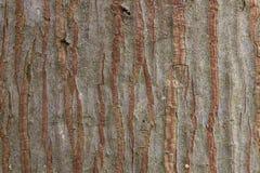 Struttura dell'albero di corteccia Immagine Stock