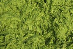 Struttura dell'alga Fotografia Stock Libera da Diritti