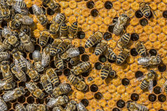 Struttura dell'ape Immagini Stock Libere da Diritti