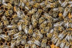 Struttura dell'ape Fotografia Stock