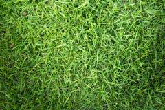 Struttura dell'erba o fondo dell'erba erba verde per progettazione di massima del campo da golf, del campo di calcio o del fondo  Fotografia Stock