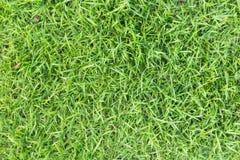 Struttura dell'erba o fondo dell'erba erba verde per progettazione di massima del campo da golf, del campo di calcio o del fondo  Immagine Stock Libera da Diritti