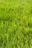 Struttura dell'erba verde Fotografie Stock Libere da Diritti