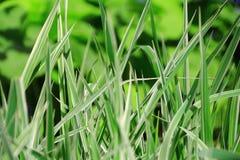 Struttura dell'erba verde Immagini Stock Libere da Diritti
