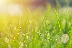 Struttura dell'erba Erba verde fresca della molla con il backgroun di gocce di rugiada Immagini Stock