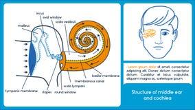 Struttura dell'orecchio medio e della coclea Immagine Stock Libera da Diritti