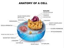 Struttura della cellula illustrazione di stock