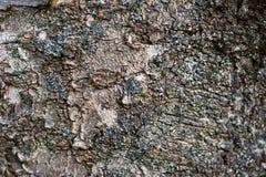 Struttura della corteccia del ciliegio acido Fotografia Stock
