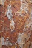 Struttura della corteccia del pino Fotografia Stock Libera da Diritti