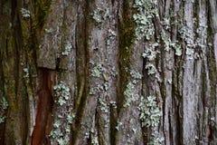 Struttura della corteccia del pino Immagini Stock