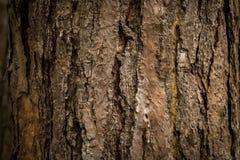 Struttura della corteccia dell'albero di pino Fotografia Stock