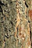 Struttura della corteccia dell'albero di pino Fotografia Stock Libera da Diritti