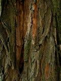 Struttura della corteccia dell'albero Priorità bassa di legno Chiuda su struttura della corteccia di albero Fotografie Stock