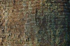 Struttura della corteccia dell'araucaria fotografia stock libera da diritti
