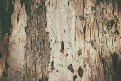 Struttura della corteccia dell'eucalyptus immagine stock