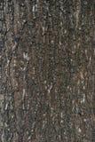 Struttura della corteccia di albero Immagini Stock Libere da Diritti