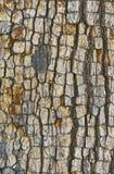 Struttura della corteccia di albero Immagine Stock Libera da Diritti