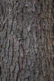 Struttura della corteccia di albero Fotografia Stock