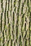 Struttura della corteccia di albero con il lichene Fotografia Stock Libera da Diritti