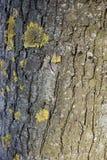 Struttura della corteccia di albero, con il lichene ed il muschio fotografia stock
