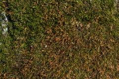 Struttura della corteccia di albero con molto muschio Immagine Stock Libera da Diritti