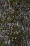 Struttura della corteccia di albero con muschio Fotografie Stock Libere da Diritti