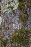 Struttura della corteccia di albero con muschio Immagine Stock Libera da Diritti
