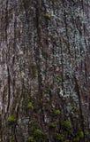 Struttura della corteccia di albero con muschio Fotografia Stock Libera da Diritti