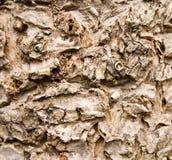 Struttura della corteccia di albero del cavolo Fotografie Stock