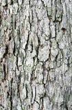 Struttura della corteccia di albero del tamarindo Immagini Stock