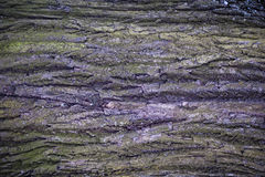 Struttura della corteccia di albero dell'acero fotografia stock