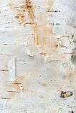 Struttura della corteccia di albero della betulla bianca Fotografia Stock Libera da Diritti