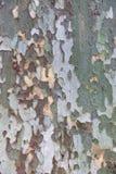 Struttura della corteccia di albero di Platan Immagini Stock Libere da Diritti