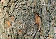 Struttura della corteccia di albero Fondo di legno Fotografie Stock Libere da Diritti